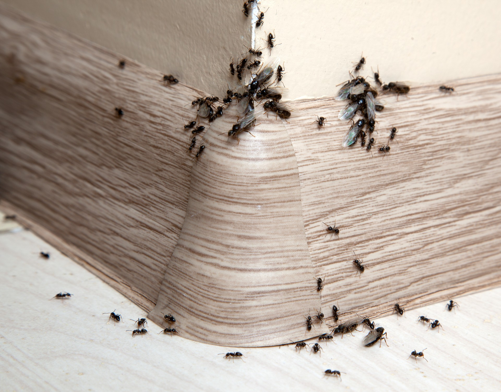 Ant Infestation, Pest Control in Chertsey, Ottershaw, Longcross, KT16. Call Now 020 8166 9746