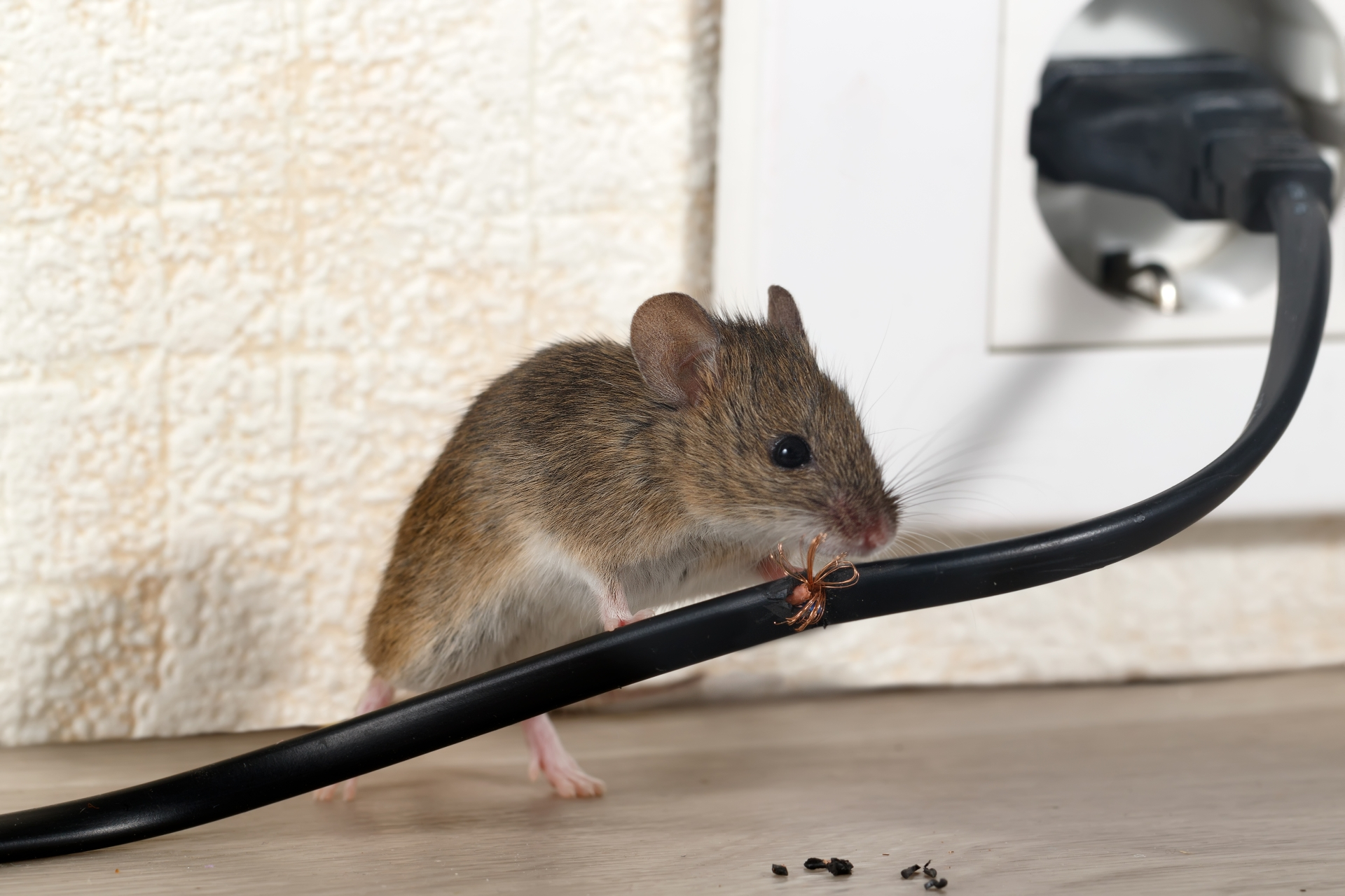 Mice Infestation, Pest Control in Chertsey, Ottershaw, Longcross, KT16. Call Now 020 8166 9746