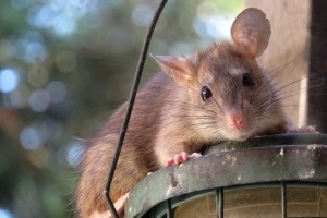Rat Control, Pest Control in Chertsey, Ottershaw, Longcross, KT16. Call Now 020 8166 9746