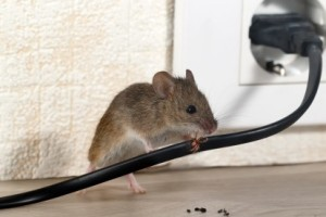Mice Control, Pest Control in Chertsey, Ottershaw, Longcross, KT16. Call Now 020 8166 9746