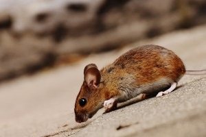 Mouse extermination, Pest Control in Chertsey, Ottershaw, Longcross, KT16. Call Now 020 8166 9746