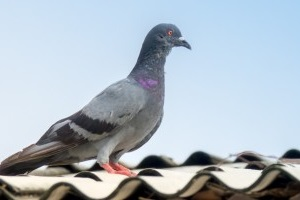 Pigeon Pest, Pest Control in Chertsey, Ottershaw, Longcross, KT16. Call Now 020 8166 9746